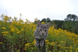 golden-rod-cat